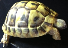 T01 2010 Hermann Tortoise (Micro-chipped)