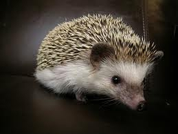 EM2 African Pygmy Hedgehogs chocolate